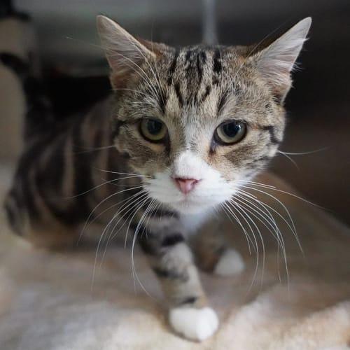 Thomas - Domestic Short Hair Cat
