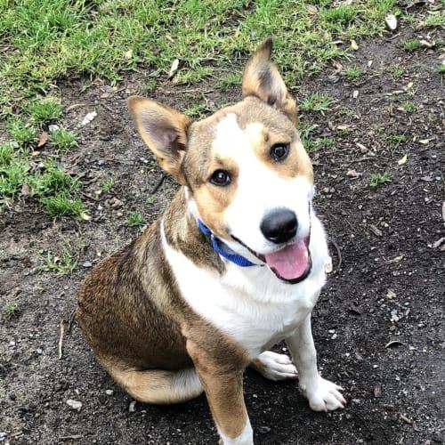 Blaize - Bull Terrier x Kelpie Dog