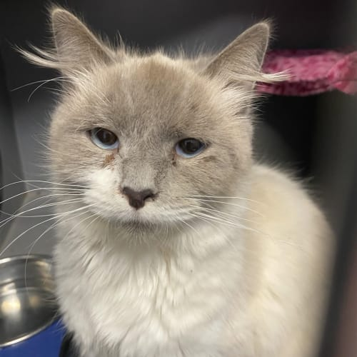 Anastacia - Ragdoll Cat