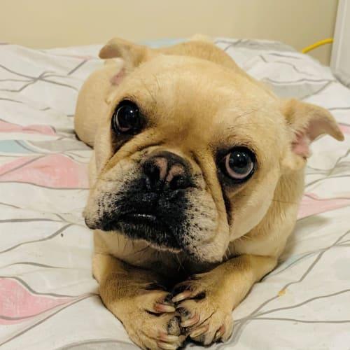 Kiara - French Bulldog