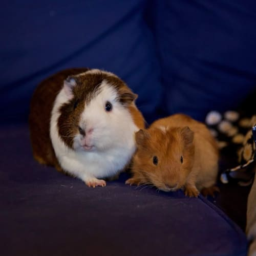Ronan and Finn -  Guinea Pig