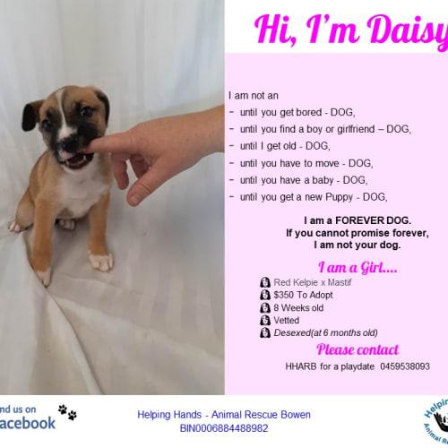 Daisy - Bull Arab Dog