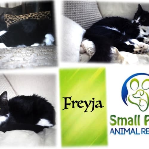 Freyja - Domestic Short Hair Cat