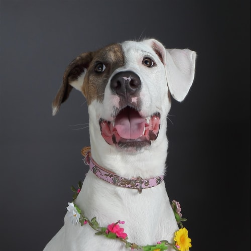 Dakota - Bull Arab Dog