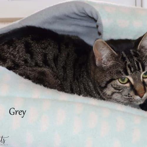 Grayson - Domestic Short Hair Cat