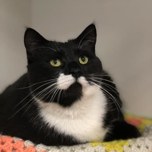 Matey - Domestic Short Hair Cat