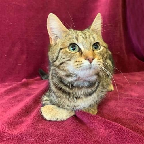 Sofia - Domestic Short Hair Cat