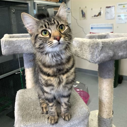 Nikita - Domestic Medium Hair Cat