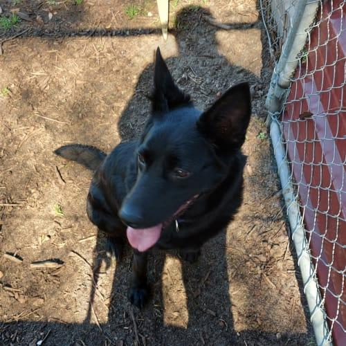 Ella - Kelpie x Australian Cattledog