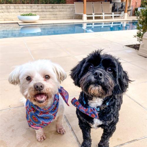 Benny - Maltese Dog