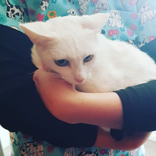 Snow white  - Abyssinian x Domestic Short Hair Cat