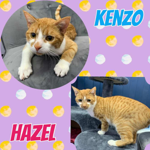Hazel & Kenzo - Domestic Short Hair Cat