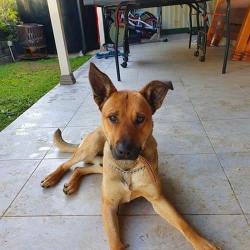 Duke - Kelpie Dog