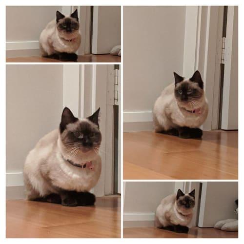3433 – Vanilla (Nil Nil) - Siamese Cat