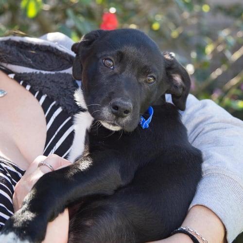Brutus ~ BC x Wolfhound puppy - Border Collie x Wolfhound Dog