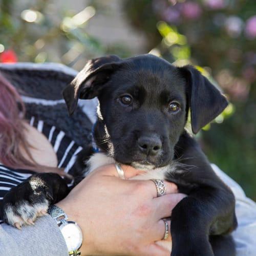 Caesar ~ BC x Wolfhound puppy - Border Collie x Wolfhound Dog
