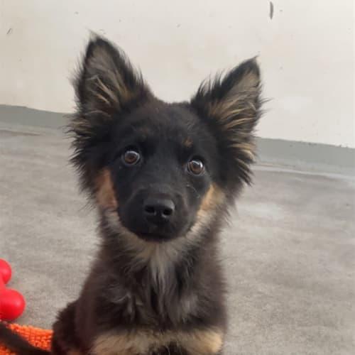 Yohan - Labrador x Siberian Husky Dog
