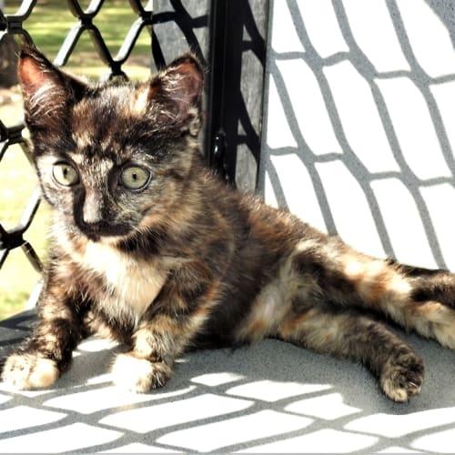 Willa - Domestic Short Hair Cat