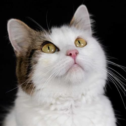 Annabelle - Domestic Medium Hair Cat
