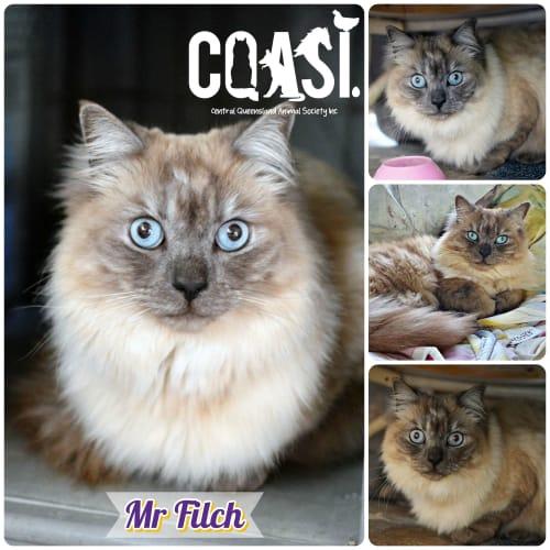 Mr Filch - Ragdoll Cat