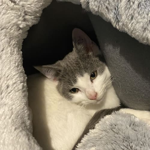 Rocco - Domestic Short Hair Cat