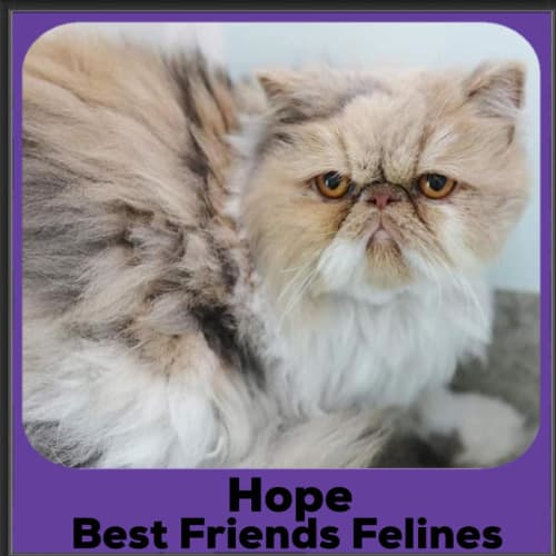 Hope  - Persian Cat