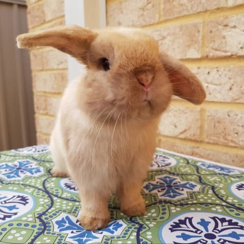 Hudson - Mini Lop Rabbit