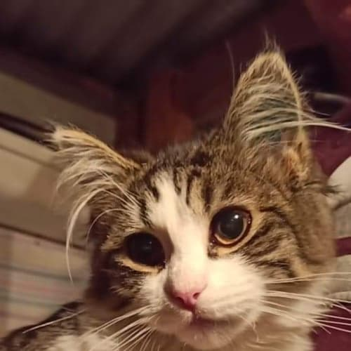 Christina - Domestic Medium Hair Cat