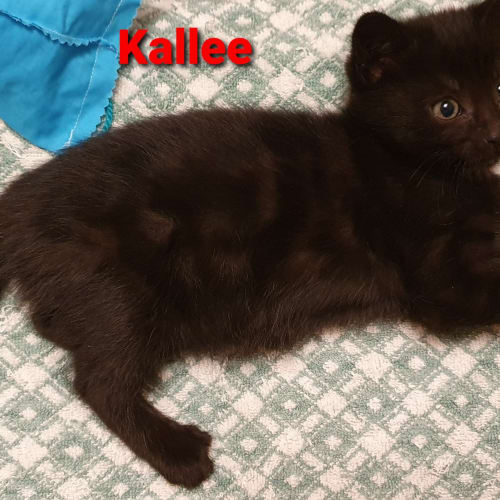 Kallee - Domestic Short Hair Cat