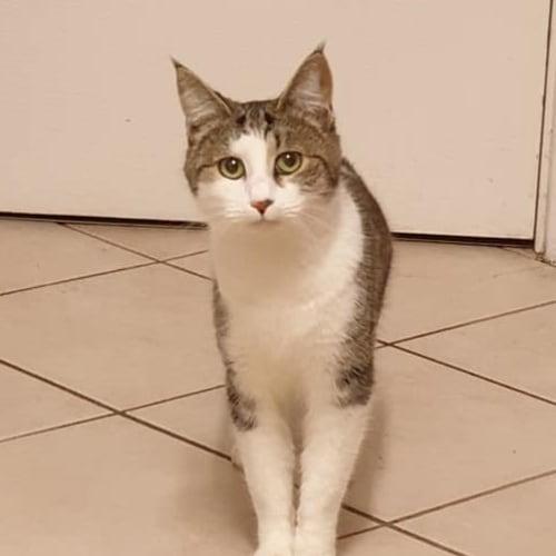 Chebi - Domestic Short Hair Cat
