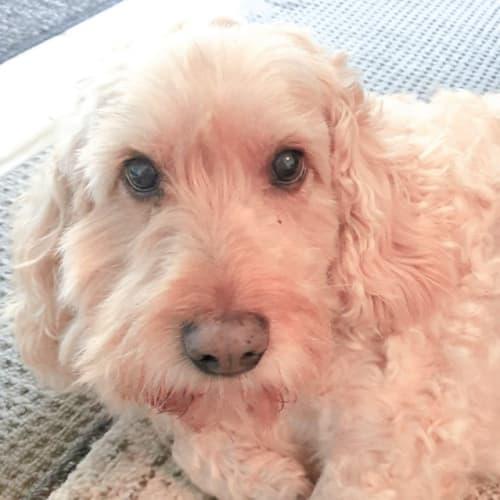 Ellie - Poodle x Cocker Spaniel Dog