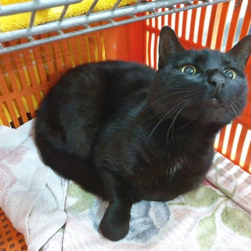 Batman/ Butch - Domestic Short Hair Cat