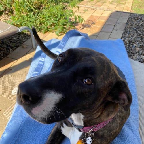 Molly - Labrador Dog