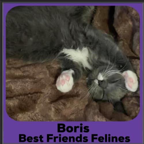Boris  - Domestic Medium Hair Cat