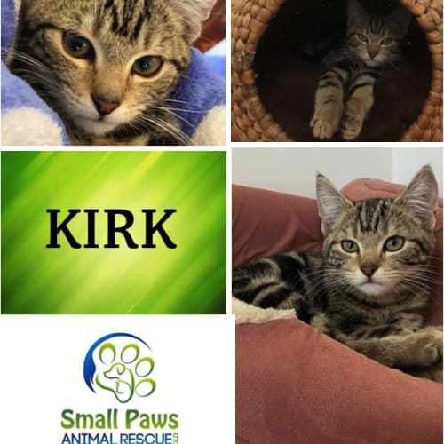 Kirk - Domestic Short Hair Cat