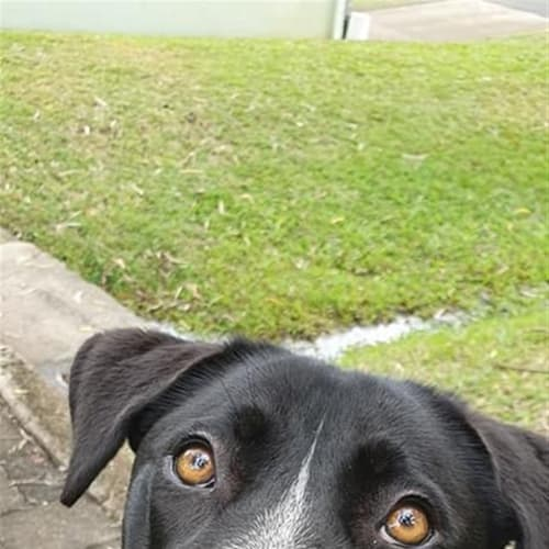 Daisy - Border Collie x Rhodesian Ridgeback Dog