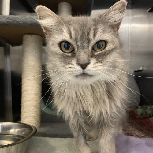 Princess - Domestic Medium Hair Cat