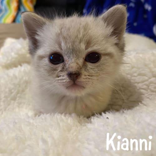 Kianni - Ragdoll Cat