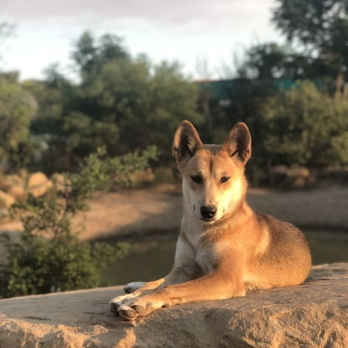 Faith - Dingo Dog