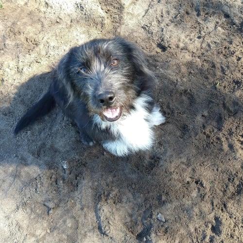Eddie - Small Terrier Cross Dog