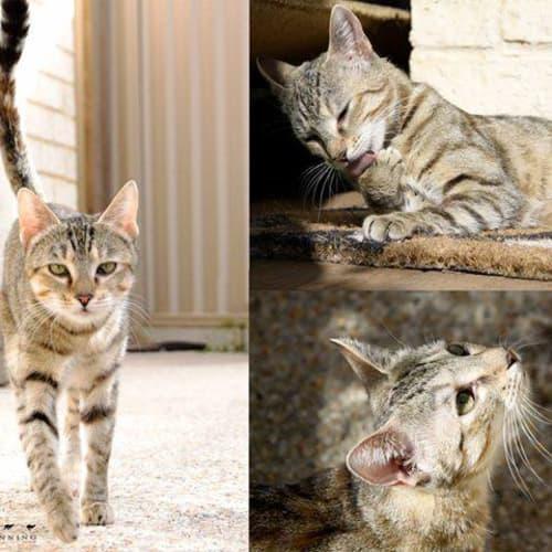 3395 - Tulip - Domestic Short Hair Cat