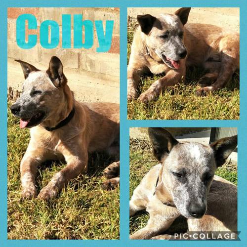 Colby - Australian Cattle Dog