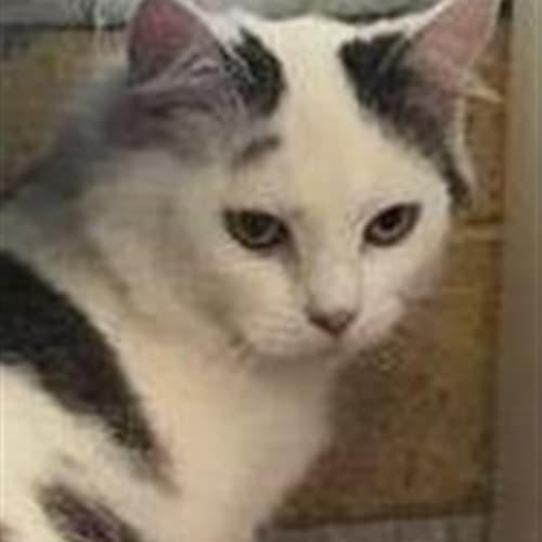 Coco - Cymric x Domestic Medium Hair Cat