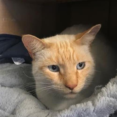 Atticus - Layanese Cat