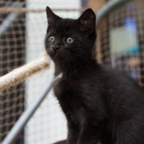 Mocha - Domestic Short Hair Cat
