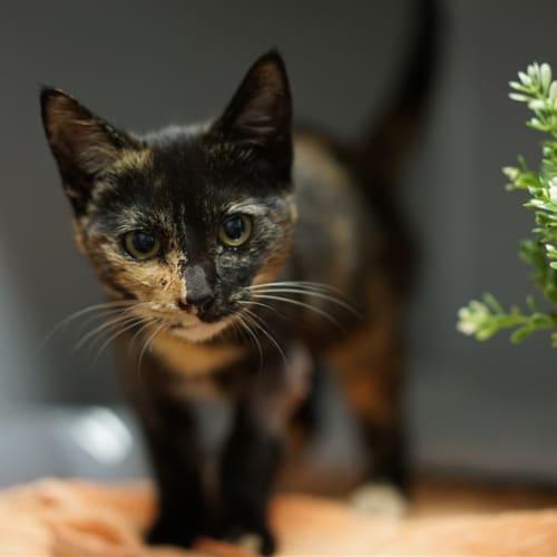 Margo - Domestic Short Hair Cat
