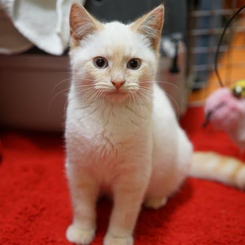 Soya - Layanese Cat