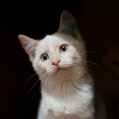 Ramen - Layanese Cat