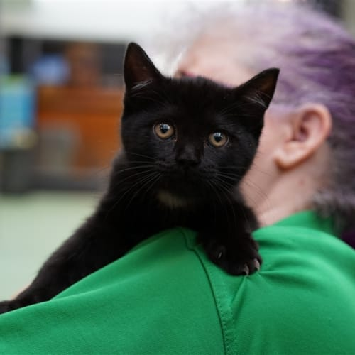 Latte - Domestic Short Hair Cat