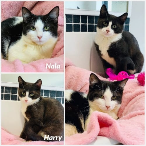 3422/3414 - Harry & Nala - Domestic Short Hair Cat